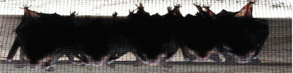 bats in gable vents